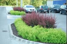Zestawione kontrastowo tawuły japońskie i berberys Thunbergia purpurea doskonale prezentują się, jako bariera oddzielająca parking od jezdni.